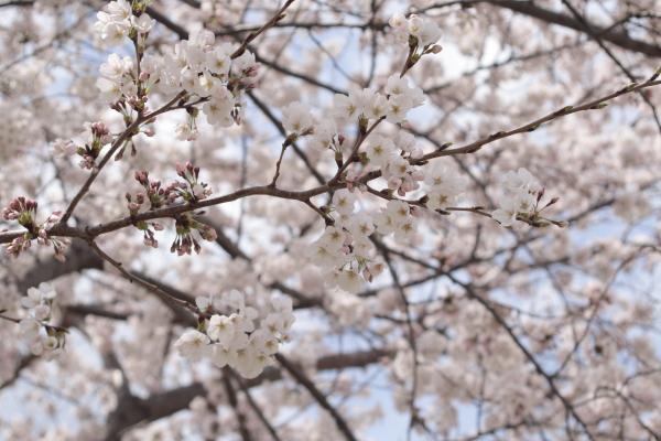 桜4120416