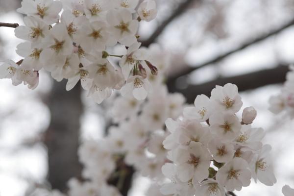 桜1120418