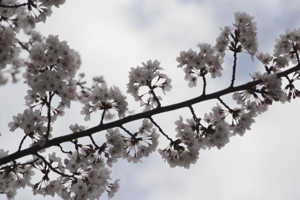桜3120418