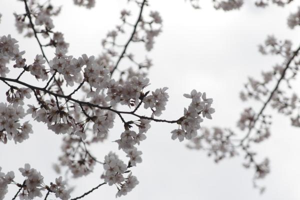 桜4120418