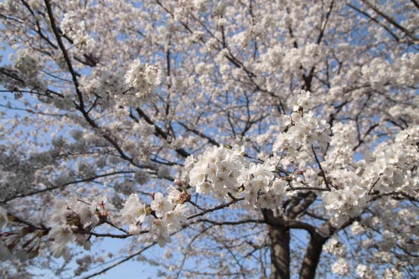 桜1120419
