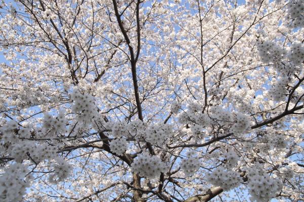 桜3120419