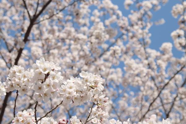 桜4120419