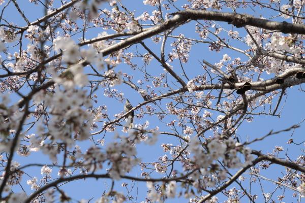 桜にヒヨドリ120423