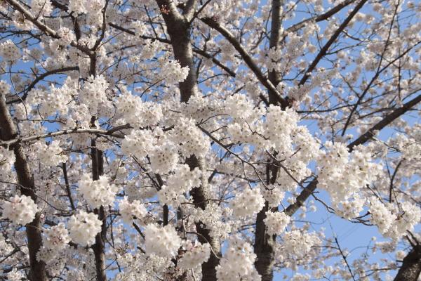 桜5120419