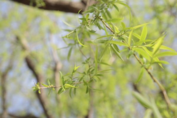 柳の新芽120510