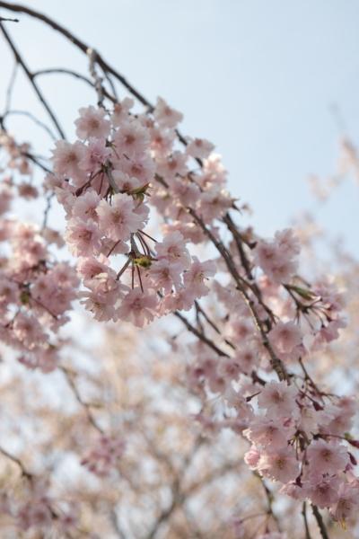 しだれ桜120508
