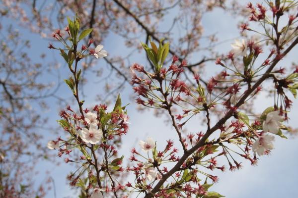 散りゆく桜1120415