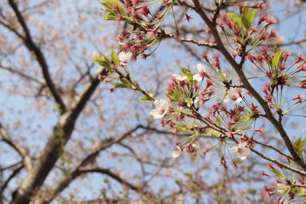 散りゆく桜2120415