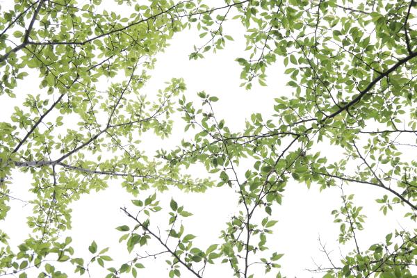 葉桜120515