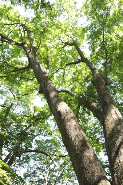 高尾山の木120619