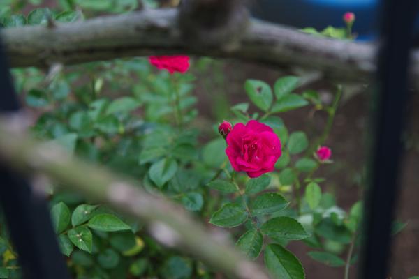 小さな赤いバラ120615