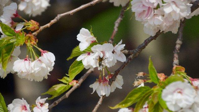 白妙桜の開花と蜂