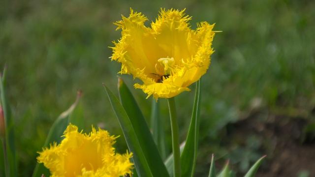 フリンジ咲き系チューリップ「ハミルトン」