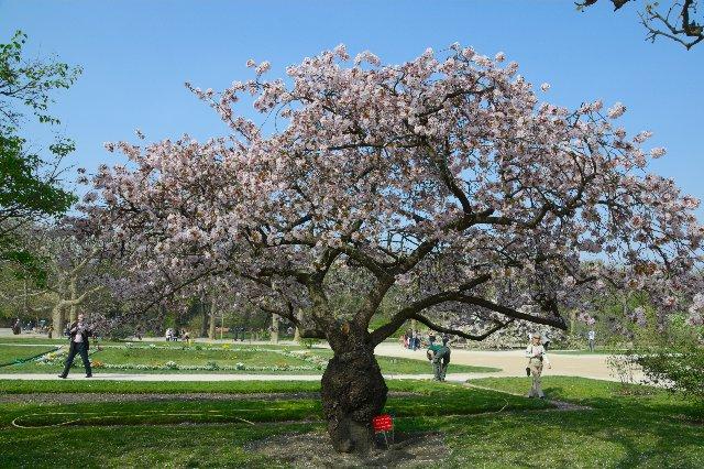 山桜の開花