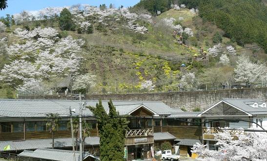 宿から見る公園の桜