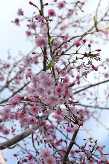 2010桜4.10