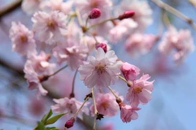 2010桜4.10-3