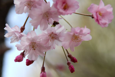 2010桜4.10-7
