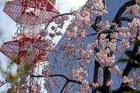 2010桜4.10-11