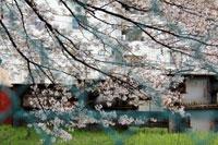 2010桜4.10-10