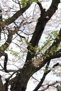 2010桜4.10-13