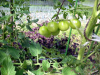 tomato6.jpg