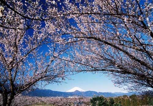 梅の里富士