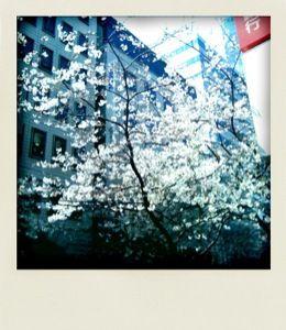 ビルの谷間の桜