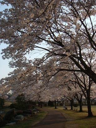 夕方の桜1