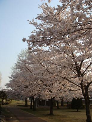 夕方の桜3