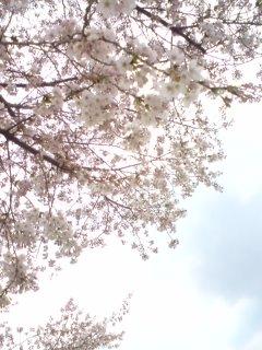 桐生の桜 2