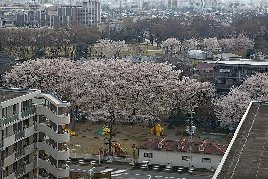 今年の桜B