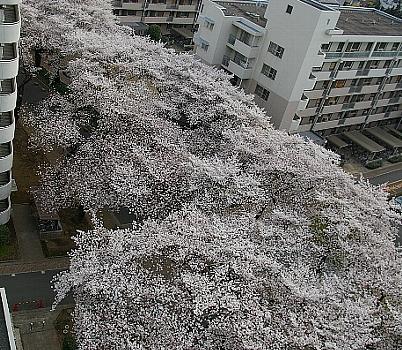 今年の桜C