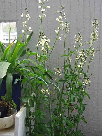 ベランダの.ルッコラの花
