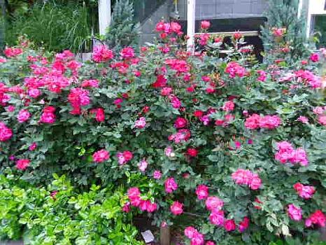 薔薇新宿中央公園
