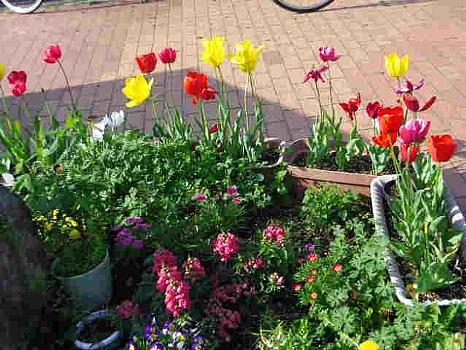チューリップのある花壇