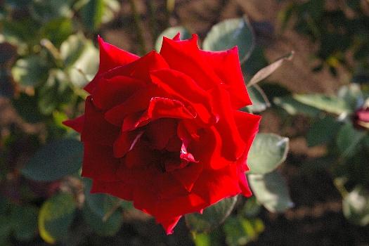 薔薇は真紅1