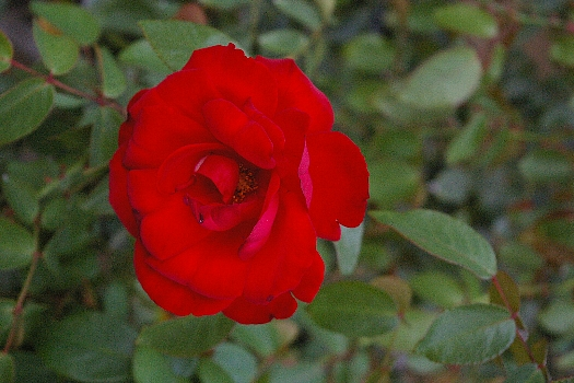 神代寺植物公園のバラ