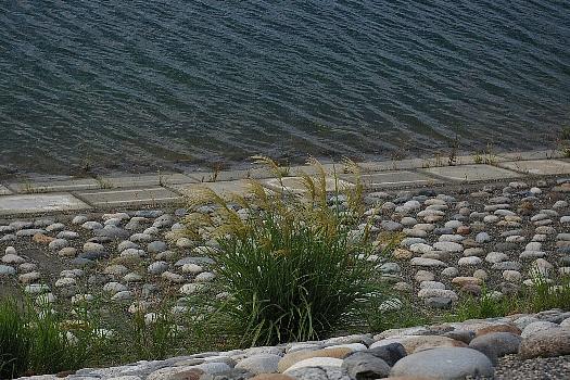 湖畔のススキ