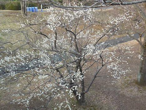 昭和公園の白梅
