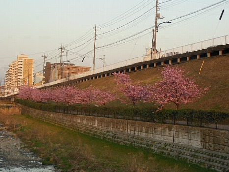 対岸からの河津桜