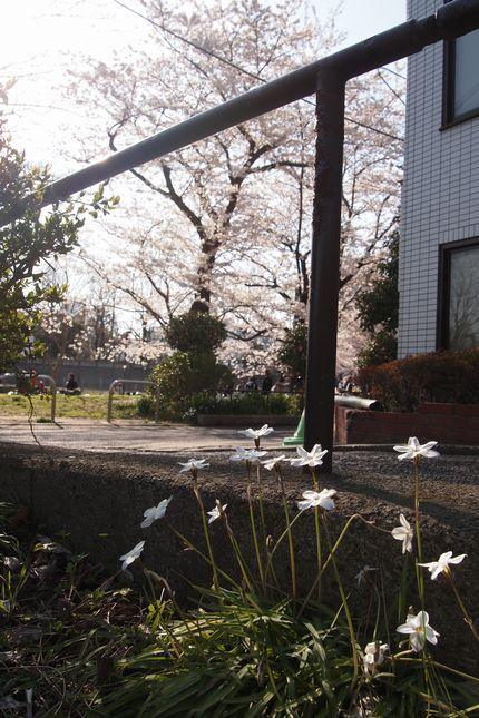 120408sakura1.jpg