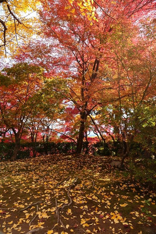 銀杏の落葉と紅葉