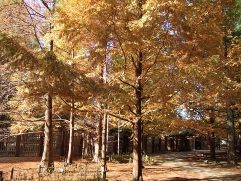 metasequoia1.jpg
