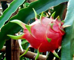 dragonfruit_s.jpg