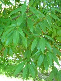 葉っぱ090628