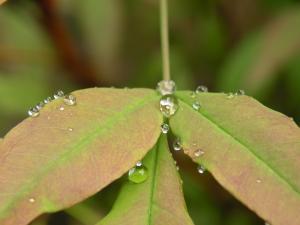 dewdrops on nanten