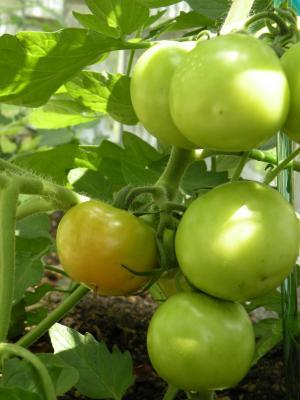 トマト少しだけ色づく