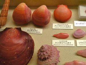赤い貝いろいろ 金魚貝